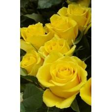 """Троянда """"Керіо"""" (жовта) середній саджанець"""