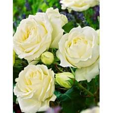 "Троянда ""Б'янка"" (біла) великий саджанець"