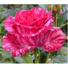 """Троянда """"Пінк Інтуішн"""" (рожева з білими розводами) великий саджанець"""