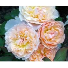 """Троянда """"Марія Магдалина"""" (персиково-біло-жовта) великий саджанець"""
